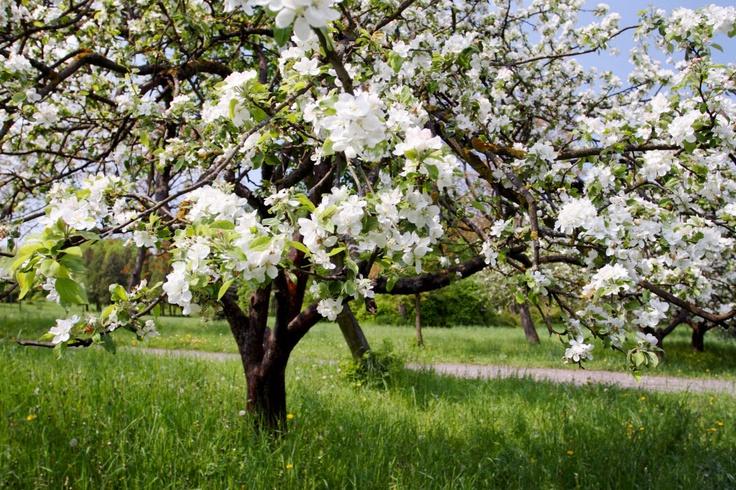 72 Best Garden Fruit Amp Nut Trees Images On Pinterest