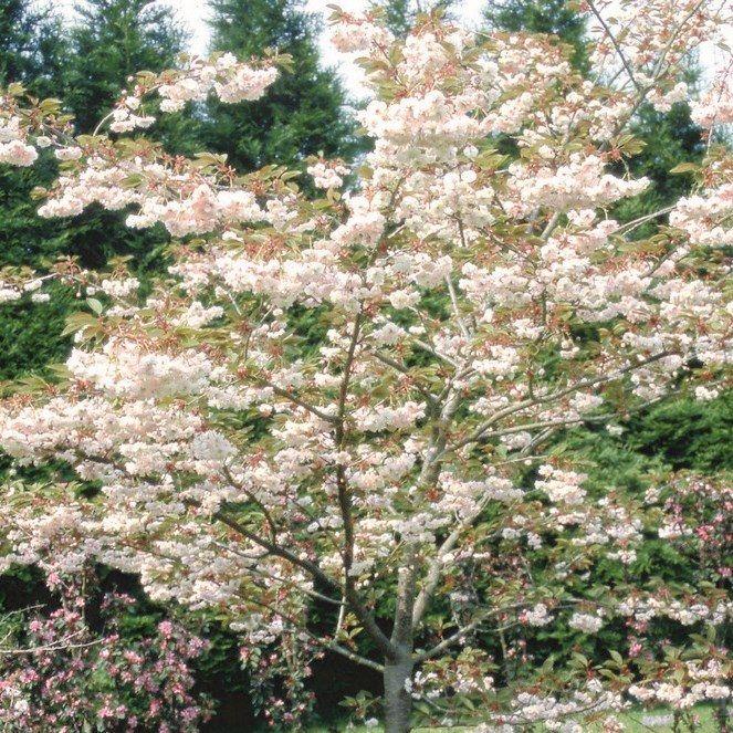 Prunus Shirofugen Ornamental Tree 12 Litre Pot Bridgend Garden Centre Ornamental Trees Prunus Fragrant Flowers