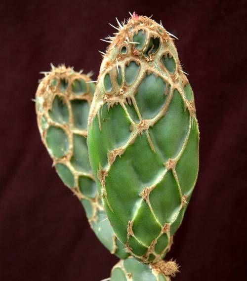 Opuntia dellenii 'reticulata'