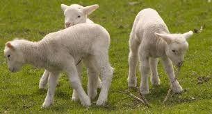 Tässä kuvassa on lampaita. Saaristossa lampaidenhoito on  yksi elinkeino. Tehnyt Veeti