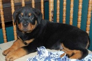 big dog kennel-rottweiler puppies for sale in virginia