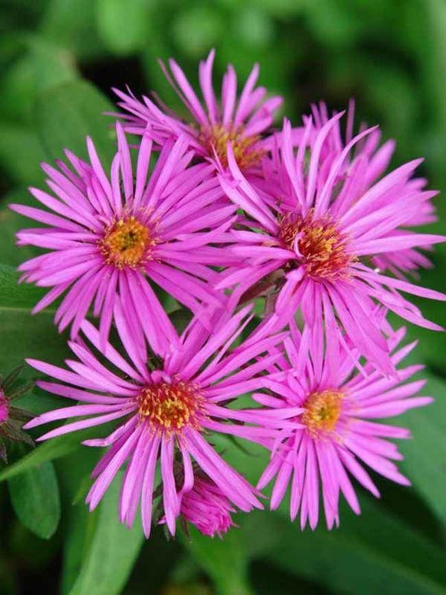 Aster Vibrant Dome Bluestone Perennials Flowers Perennials Perennials Aster