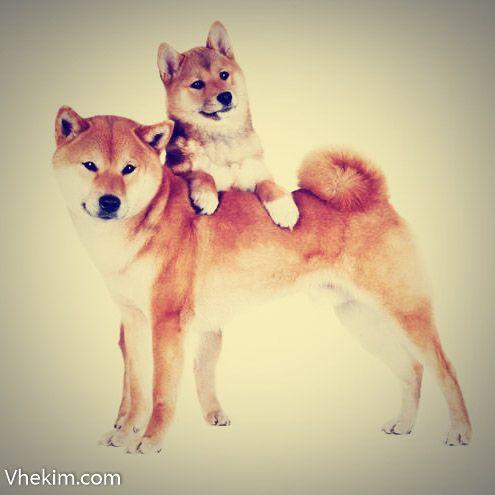 Shiba inu küçük bir tilki gibi görünen ve küçük kürklü ateş topu olarak bilinen bir köpek ırkıdır.Canlı, iyi bir aile köpeğidir fakat diğer köpekleri pek sevmez