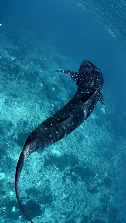 Belize - a great place to see Whale Sharks! #sharks #travel #belize