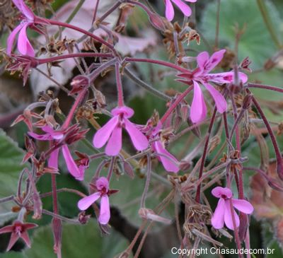 Plante médicinale d'origine sud-africaine utilisée principalement pour soigner la bronchite aiguë ou la toux, se présente en général sous forme de teinture (gouttes)