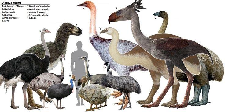 Prehistoric giant flightless bird   Image linked from: http://getouterspace.tumblr.com/post/25857819106 ...