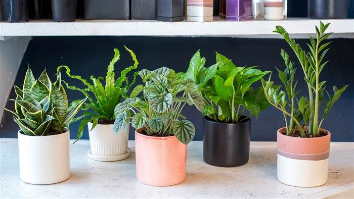 Low-maintenance plants: Snake plant, Bird's Nest fern, Ripple peperomia, Pothos plant, ZZ plant