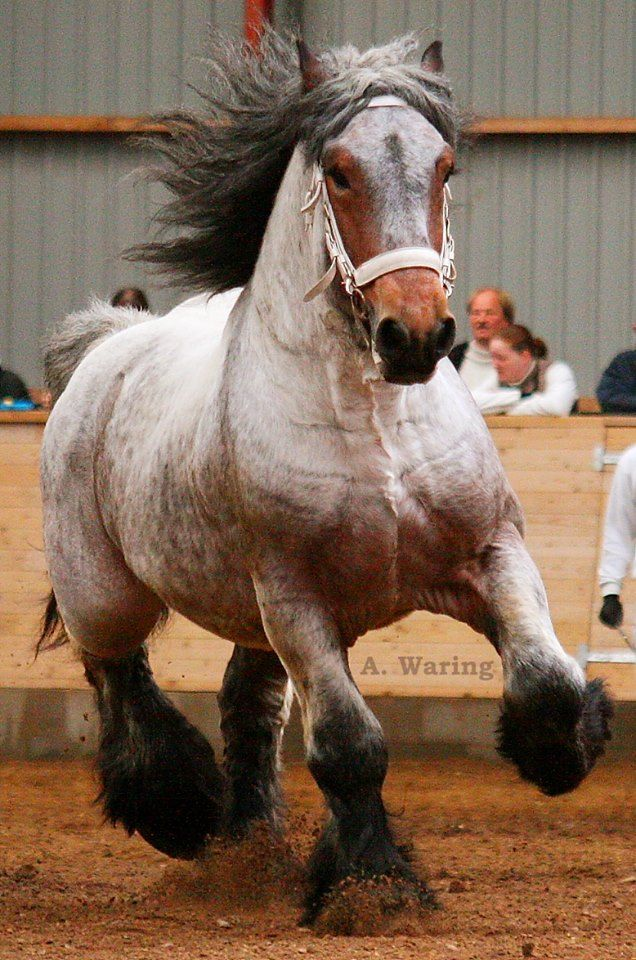 "Bay roan Brabant stallion ""Rufus"" - Horse Breed - Draft Horse"