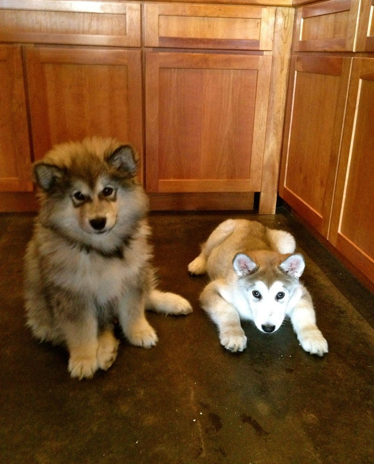 Malamutes or Huskies?? The one on the left is clearly a Malamute, the other.......