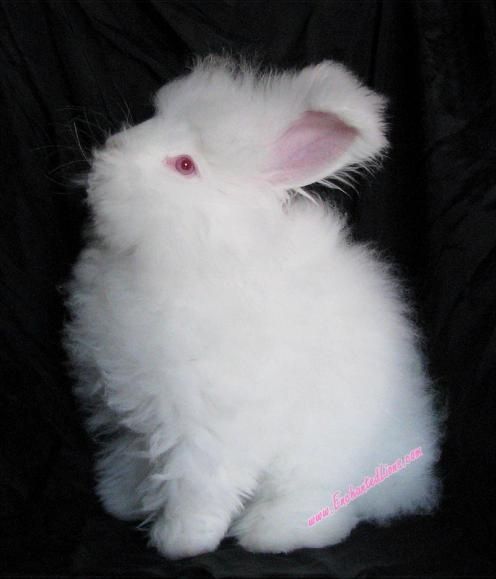 english angora rabbits - photo #33