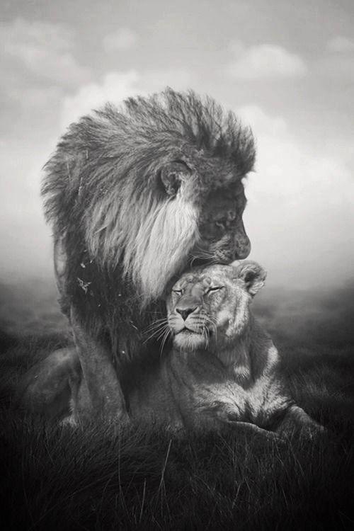 ZsaZsa Bellagio: I love you. Animals...Lion