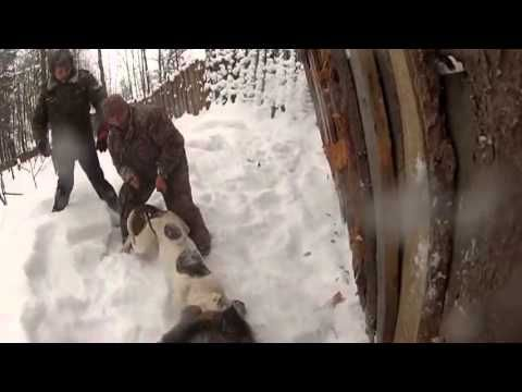American bulldog and a wild boar Американский бульдог и дикий кабан - YouTube