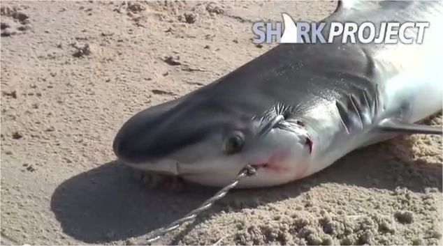 """""""Sharks don't cry"""" is a very sad clip about a young tiger shark. The scenes were all shot secretly by hiding the camera. The film is part of the """"Stop Finning"""" campaig…"""