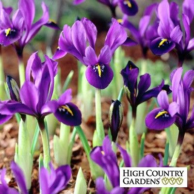 'George' is slightly larger in height and flower size than the Iris reticulata varieties. The flowers are a lovely plum-purple color.
