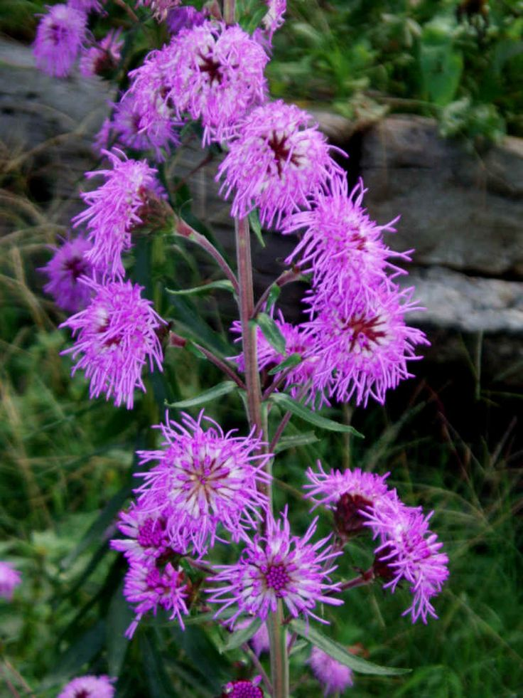 eastern blazing star