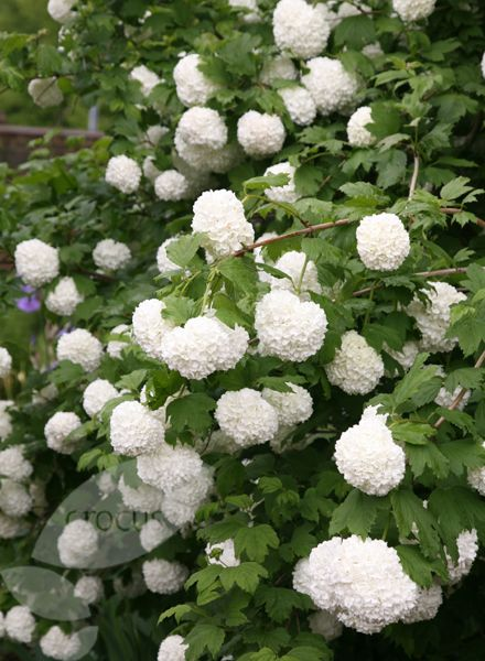 Buy snowball tree ( syn. Sterile ) Viburnum opulus Roseum: Delivery by Crocus.co.uk