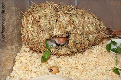 straw bird house as hamster hideout