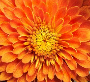 november birth flower   is the November birth month flower. Most of the months have two birth ...