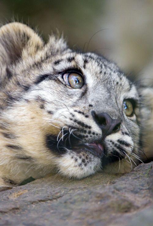 Snow Leopard Cub by Tambako the Jaguar