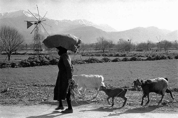 Γυναίκα και οι κατσίκες της. Στην πεδιάδα, ανεμόμυλοι . Κρήτη, 1955 – Φωτογραφία : Erich Lessing