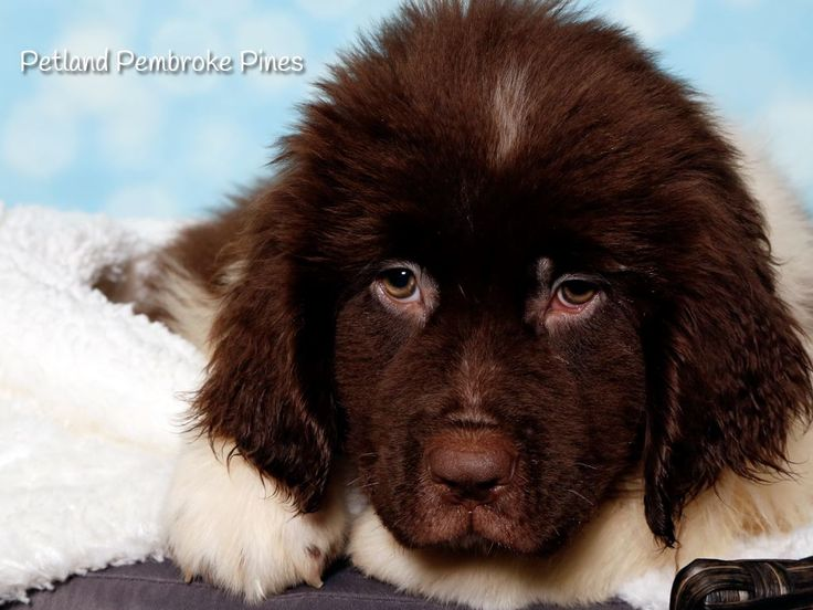 The journey of life is sweeter with a Newfoundland puppy. Find your perfect match at Petland Pembroke Pines. ❤️