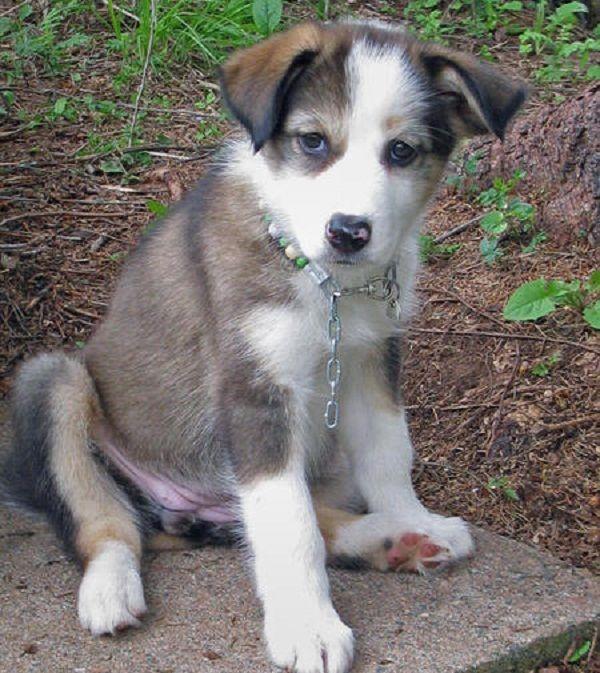 Husky Border Collie Mix Puppies 1000+ ideas abo...