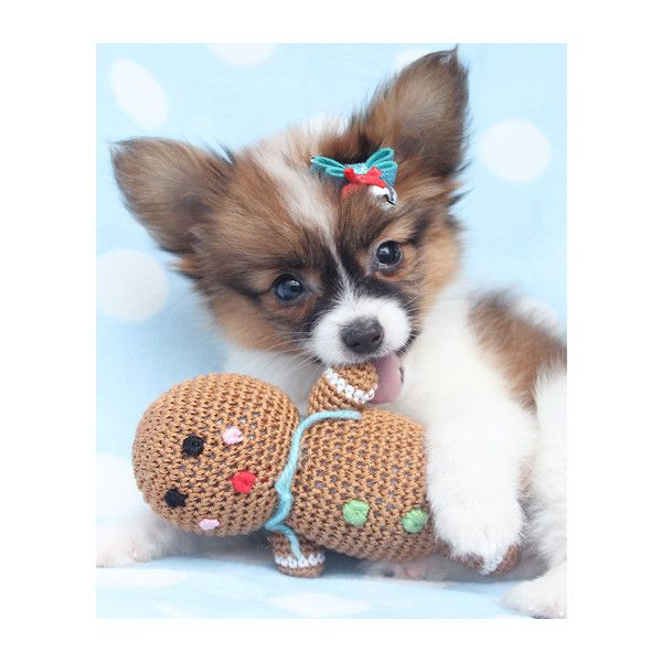 Papillon Puppies For Sale ❤ liked on Polyvore featuring animals