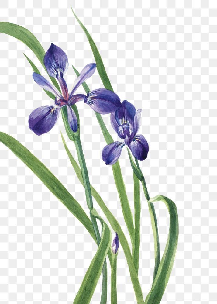 Purple Iris Flowers Png Illustration Free Image By Rawpixel Com Macc Purple Iris Flowers Iris Flowers Flower Illustration