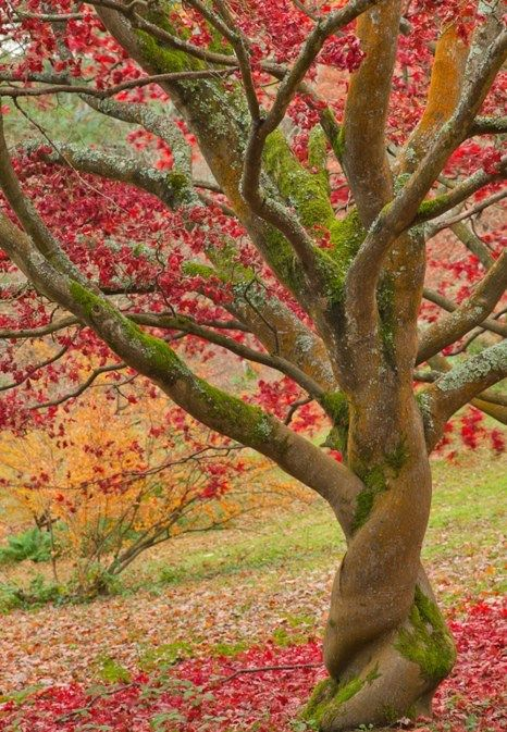 .: Trees Trunks, Twists Trees, Spirals, Amazing Natural, Colors, Beautiful, Fall Trees, Leaves, Autumn Trees