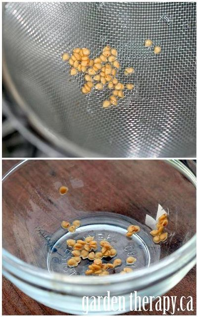 how to save heirloom tomato seeds, gardening, Step 3 rinse off the seeds dry and store for next spring
