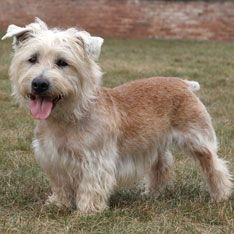 Glen of Imaal Terrier::  Gentler, less excitable than most terriers, but still bold and spirited. #dogs #pets #ShermanFinancialGroup