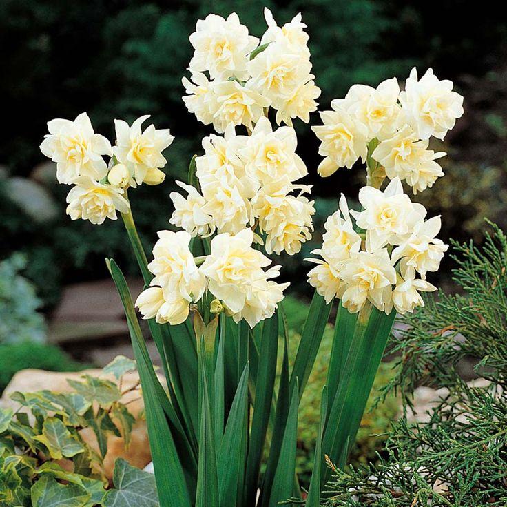 Erlicheer daffodil Favorite Scents Pinterest Gardens