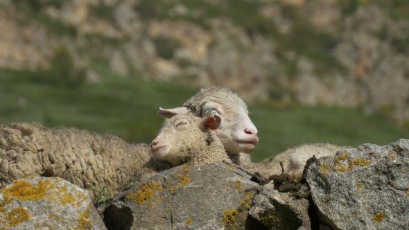 Mother Sheep and Lamb Sleep Together