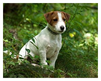 faq cuccioli jack russell terrier fattoria