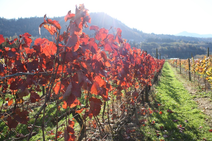 Fall vineyard by Fraser Valley Webs photography www.fvwebs.com