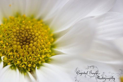 White Daisy Photography White Flower Picture by CrystalGaylePhoto