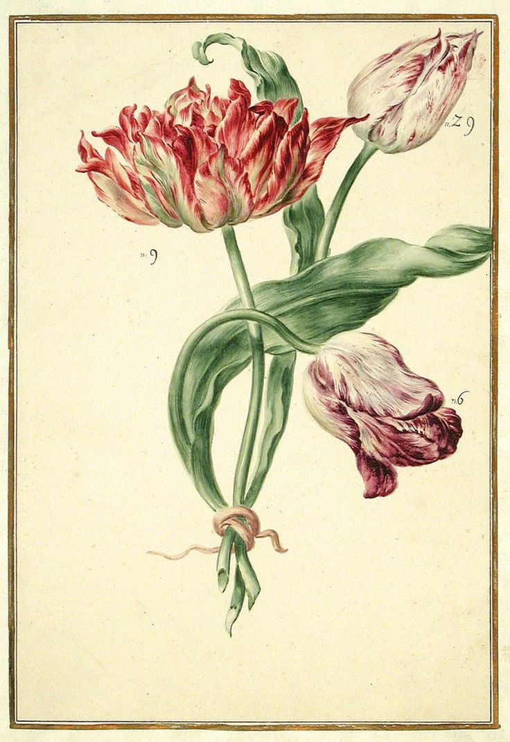 Beautiful antique drawing of tulips from the Karlsruher Tulpenbuch