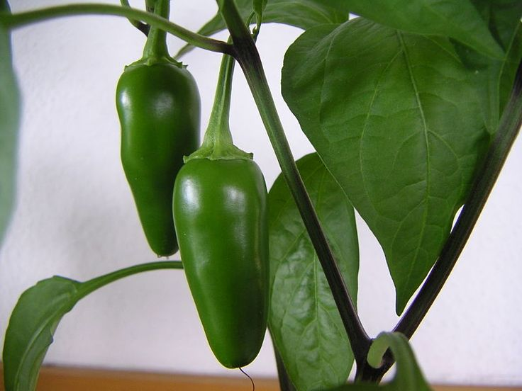 Jalapeño is a medium-sized chili pepper