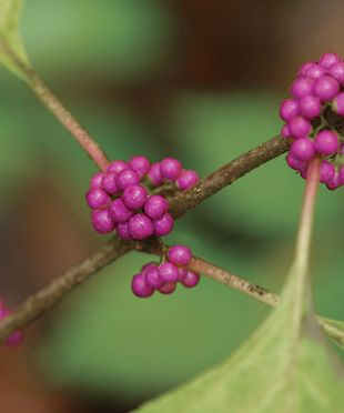 8 Trees and Shrubs with Showy Fall Fruit: These plants add late-season dazzle to a garden when most plants are winding down. Read more here http://www.finegardening.com/design/articles/trees-shrubs-showy-fall-fruit.aspx: Beautiful Berries, Front Yard, Shrub, Fine Gardens, American Beautyberri, Showi Fall, Flower, American Beautiful, Fall Fruit