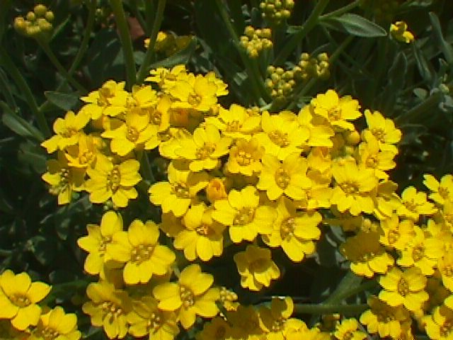 10 full sun and drought tolerant perennials. Pictured: yellow alyssum