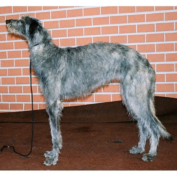 34 best Razas de Perros Grandes images on Pinterest ...   600 x 600 jpeg 89kB