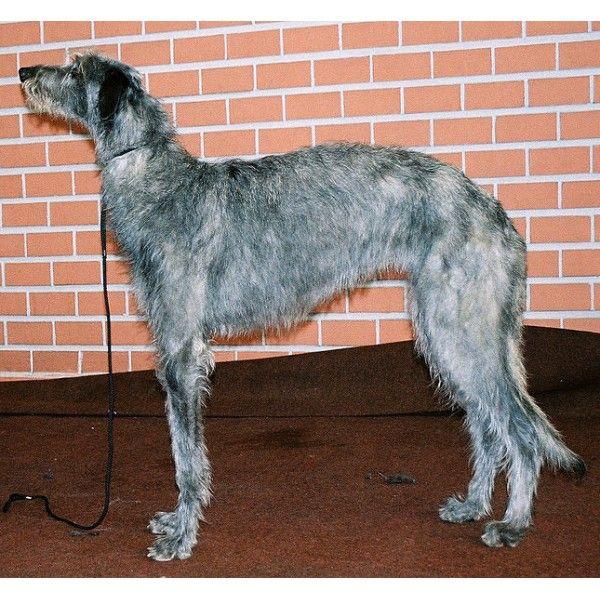 Deerhound Escocés