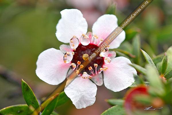 Photo of Native Manuka flowers (Leptospermum scoparium) - Red tea tree.  Source of Manuka Honey, New Zealand (NZ)