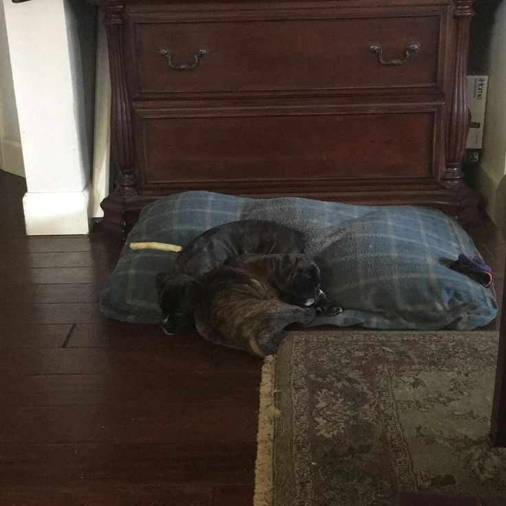 Growing is hard work. Boxer pups 9.5 weeks old. http://ift.tt/2lq75xx