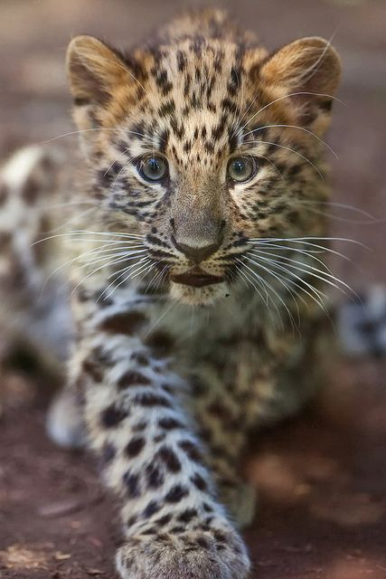 Young Amur Leopard, so cute, very sad they are close to extinction, thanks to people.