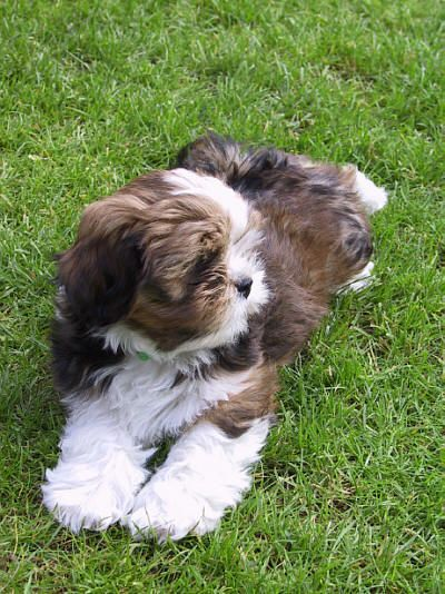 Lhasa Apso Puppy Picture