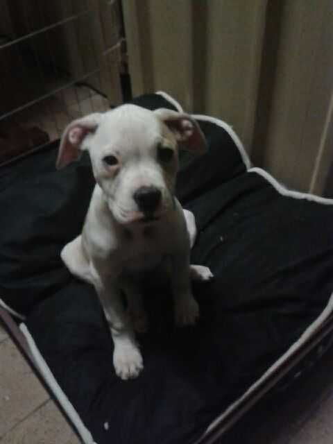 SWEET PUPPY FOR SALE AMERICAN BULLDOG X AMERICAN JOHNSON BULLDOG one Female, 14 weeks old Parents can be viewed READ MORE HERE http://petsplease.com.au/category/309/Dogs-and-Puppies/listings/2337/AMERICAN-BULLDOG-X-AMERICAN-JOHNSON-BULLDOG.html