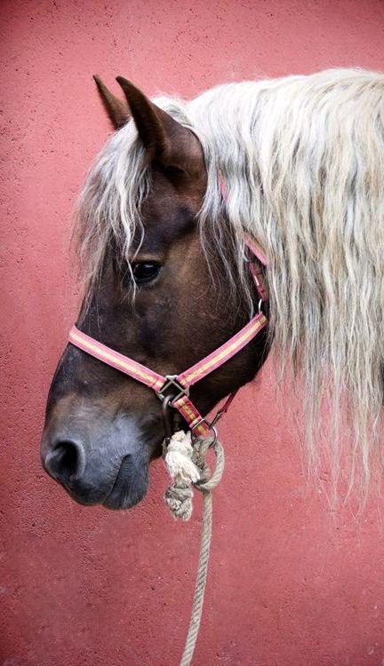 draft horse - Belgian