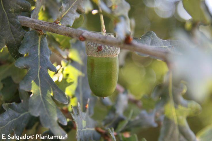 Carballo del país, Quercus robur