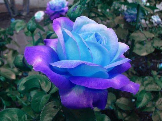 Purple, Royal Blue & Light Blue Rose